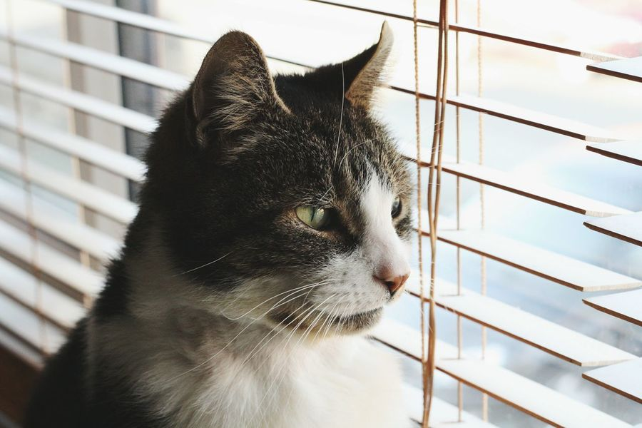 this little horror hasn't been well, we know he is feeling better now because he is back to being his moody, sultry self. Cat Evil Cats Of EyeEm Keeping Watch Window Cats Blinds Domestic Cat One Animal Mammal No People Close-up Day Animal Themes Whisker Pets Domestic Animals Indoors  Feline