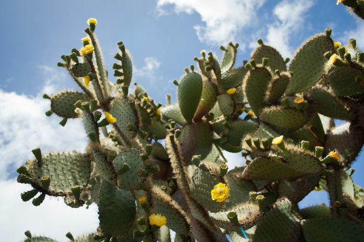 Yellow Flower Beauty In Nature Cactus Catkin Close-up Cloud - Sky Day Freshness Green Color Growth Low Angle View Nature No People Outdoors Plant Prickly Pear Cactus Saguaro Cactus Sky Sunlight Tree
