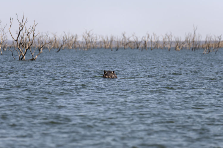 View of hippo swimming in sea