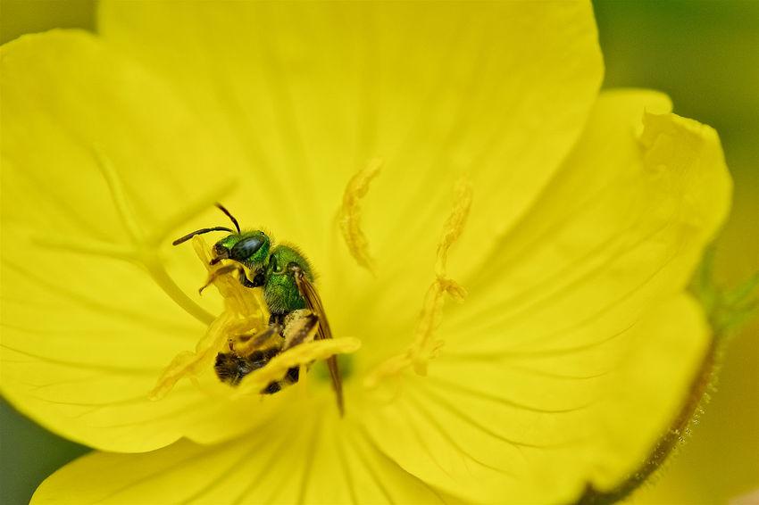 Climb, Chomp, Harvest. Nikon D90, Tokina AT-X Pro 100mm F2.8 Macro. Bee Close-up Flower Insect Macro Beauty Petal Springtime Yellow Showcase: January