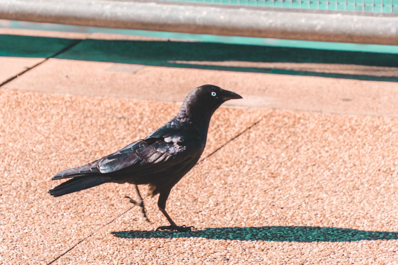 Animal Themes Animal Wildlife Animals In The Wild Bird Black Bird Day Nature No People One Animal Outdoors Perching Retaining Wall Shadow Sunlight