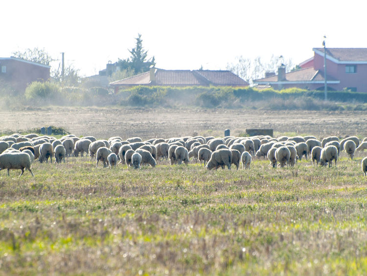 Animal Animal Themes Animals Cattle Environment Farm Farm Life Flock Of Sheep Grass Grazing Lamb Landscape Livestock Mammal Nature No People Pasture Pasture, Paddock, Grassland, Pastureland Rural Lanscape Rural Life Rural Scene Scenery Sheep Sheeps Stubble
