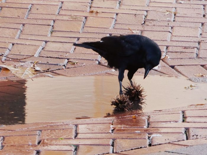 Animal Themes Animals In The Wild Bird Celebrate The Moment Crow Playing In The City Enjoying Life For My Friends 😍😘🎁 Love Crows😍 Nature Smart Birds