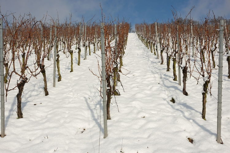 Winter Agriculture Bare Vines Beauty In Nature Before Pruning Blue Skiy Nature No People Outdoors Sky Snow Covered Vine Rows Vineyard Cultivation Vineyard In Winter Viniculture Winter Winter Sun