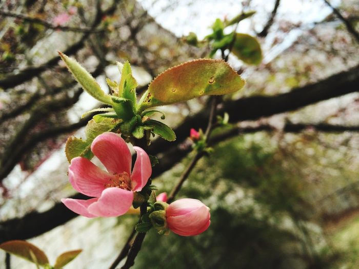 桜 桃山城 お花見