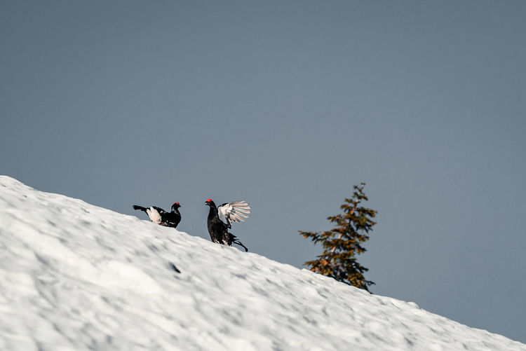 Low angle view of birds on snowcapped mountain against clear sky
