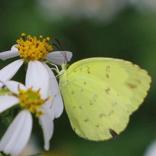Yellow Butterfly. Butterfly Kupukupu Insectagram Insect macroworld_tr macroworld_ macro macrophotography closeup serangga