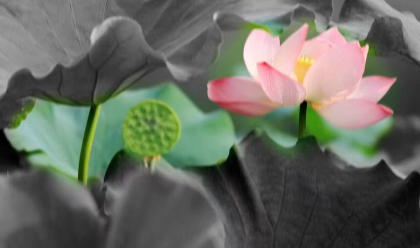 lotus Colour Of Life Hi! Try