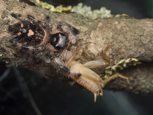 A close up of Phidippus regius female eating a house cricket Eating Animal Themes Animal Wildlife Animals In The Wild Close-up Cricket Day Insect Jumper Launch Nature No People One Animal Outdoors Phidippus Regius Salticidae Spider