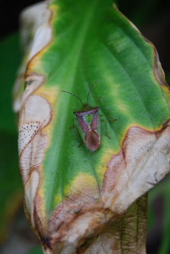 Beetle Brown Browning Bug Close-up Emerald Green Color Growth Leaf Leaf Vein Nature Outdoors Plant Plant Life Scortched Plains Stink Bug Maximum Closeness