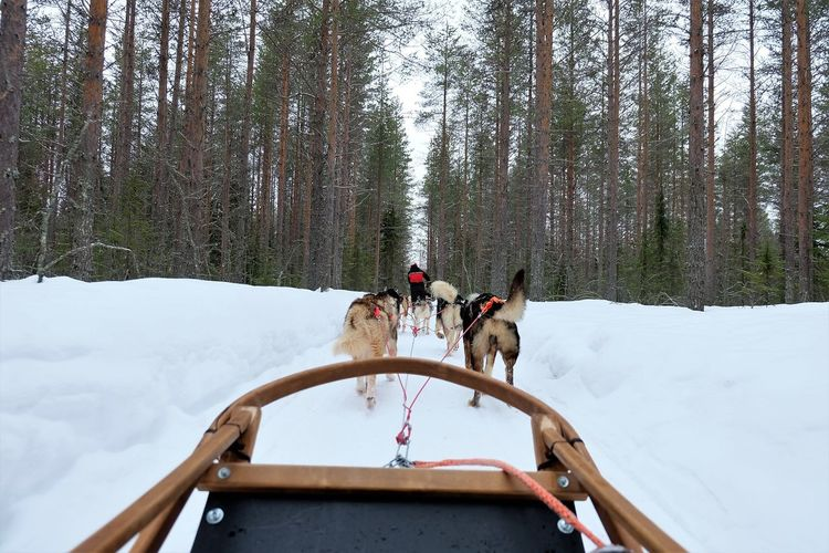 Husky Sledding over the snowy forest in Finland Animal Themes Beauty In Nature Cold Temperature Day Dog Domestic Animals Forest Mammal Mode Of Transport Nature No People Outdoors Pets Riding Sky Sled Dog Snow Togetherness Transportation Tree Water Winter