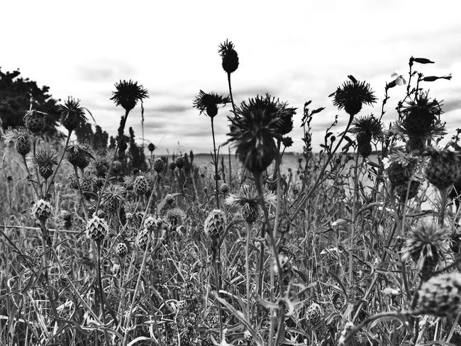 Flower Flowers, Nature And Beauty Flowers_collection Thistle Field Growth Nature Beauty In Nature Outdoors Rügen Landscape_Collection Landscape Schwarzweiß Bnw_collection Blumen Blumenwiese Blackandwhite Photography Black And White Nature Natur Flower Black And White