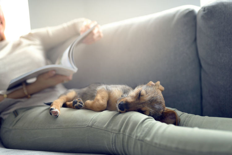 Cute little puppy dog sleeping in her owners lap Domestic Life Puppy Dog Animal Themes Dog Domestic Animal Domestic Animals Indoors  One Animal One Person Pets Puppy Real People Relaxation Sleeping Sleeping In Lap Sofa