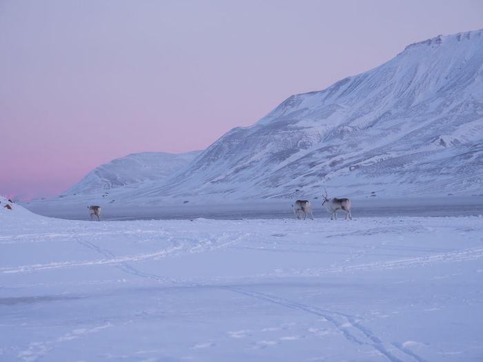 Reindeer Walking On Snowy Field During Winter