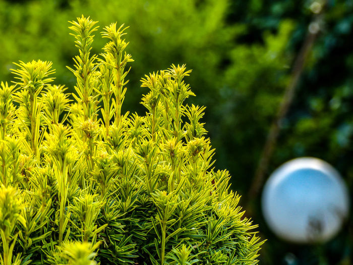 Beauty In Nature Branch Close-up Coniferous Tree Day Focus On Foreground Freshness Green Green Color Growth Leaf Nature No People Outdoors Plant Plant Part Scenics - Nature Selective Focus Sunlight Tranquility Tree