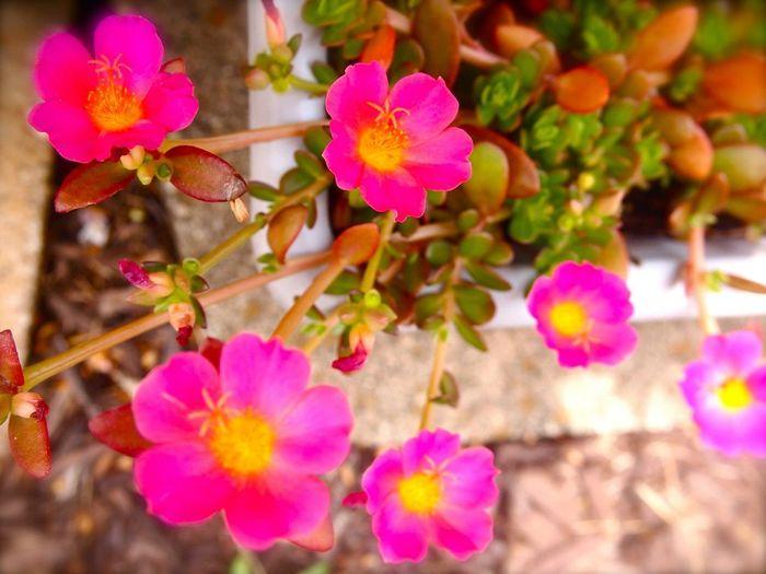 Flower Containergarden Portulaca Containergardening Nature Pink Flower