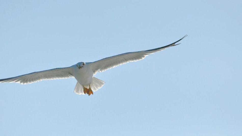 Showcase: February Seagull SEAGULL IN FLIGHT Seagulls Flying Over Me Seagulls Flight