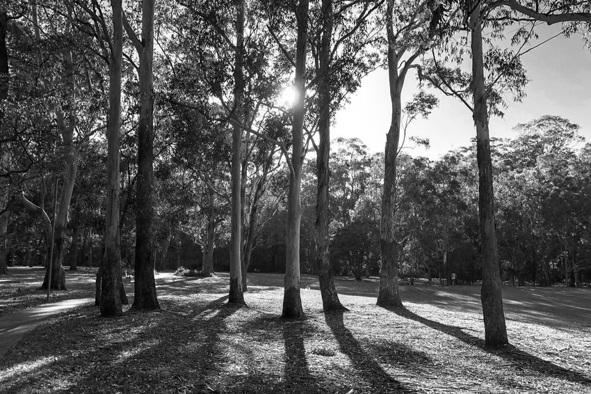 The shadows Black And White Light And Shadow Monochrome Tree Nature Tree Trunk Tranquility Beauty In Nature Outdoors Tranquil Scene Scenics Landscape Forest Day No People Sunlight Shadow Tree Area Sky Branch Growth