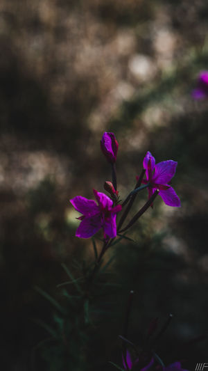 Flower Flowering Plant Plant Vulnerability  Fragility Beauty In Nature Freshness Growth Petal Close-up Pink Color Focus On Foreground Nature Inflorescence No People Flower Head Purple Day Outdoors Selective Focus