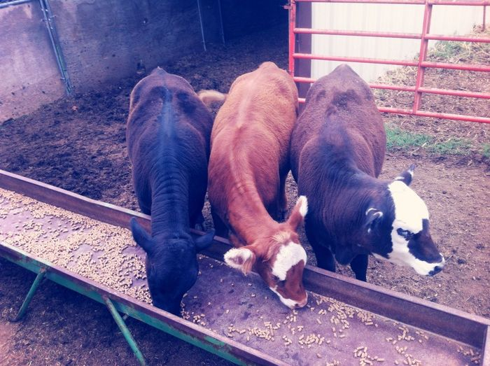 Cows First Eyeem Photo
