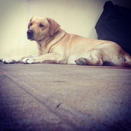Labradors Labradorretrieverslife Labs Doglovers doglife dogsofindia instadog