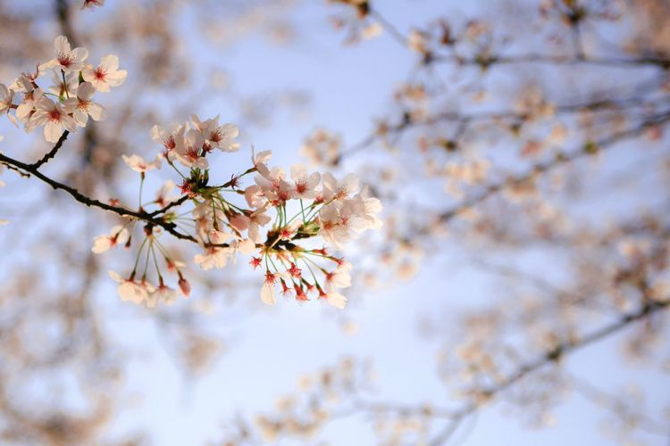 Flowering Plant Plant Tree Fragility Flower Branch Springtime Blossom Vulnerability  Beauty In Nature Freshness Growth Low Angle View Nature Cherry Blossom Day Close-up Sky No People Focus On Foreground