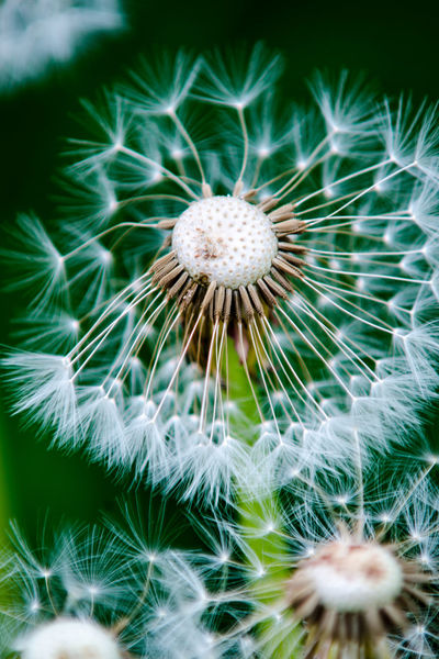 Beauty In Nature Blown Close-up Dandelion Dandelion Seed Day Flora Floral Flower Flower Head Fragility Freshness Green Color Growth Nature No People Outdoors Plant Seed Softness Summer Summertime Perspectives On Nature