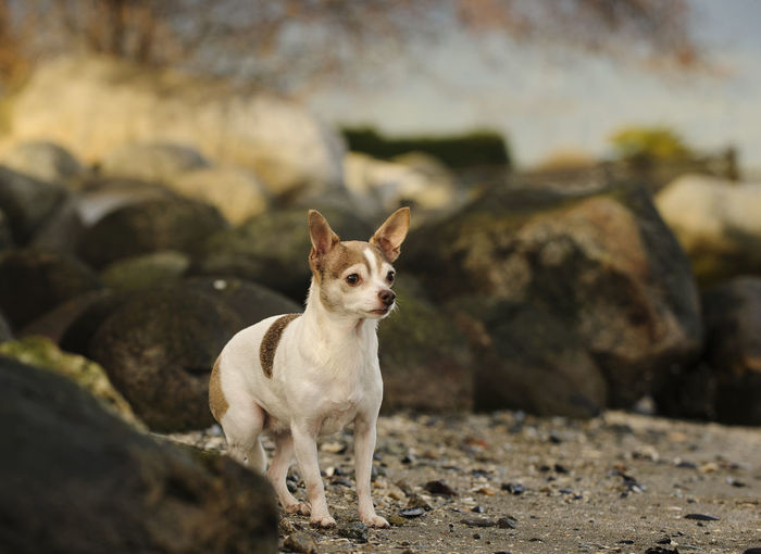 View Of Chihuahua Standing Alert On Rocky Beach