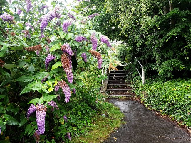Growth Nature Flower Plant Day Outdoors No People Beauty In Nature Fragility Freshness Rainy Day Green Color Pathway Path Landscapes Yorkshire Copley Sommergefühle Sowerby Bridge Landscape Scenics Steps Purple Flowers Bush Overgrown And Beautiful