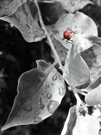 Fliege Fly Blowfly Blackandwhite Schwarzweiß Leaves🌿 Blätter Samsung Galaxy Tab 2 Green Grün Close-up Original Colour Orange Insect Eyes Augen Photogenic  Coloursplash EyeEmNewHere EyeEm Best Shots