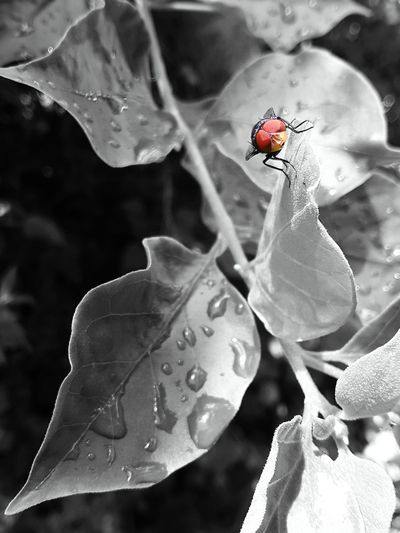Fliege Fly Blowfly Blackandwhite Schwarzweiß Leaves🌿 Blätter Samsung Galaxy Tab 2 Green Grün Close-up Original Colour Orange Insect Eyes Augen Photogenic  Coloursplash EyeEmNewHere EyeEm Best Shots