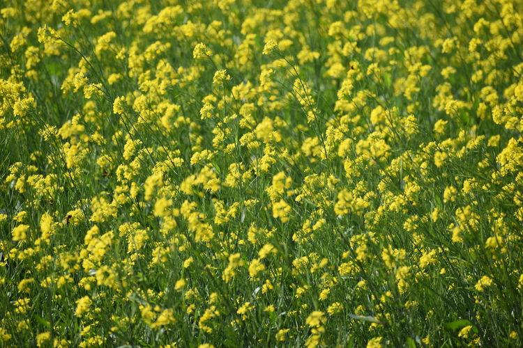 Full frame shot of fresh yellow flowering plants on field