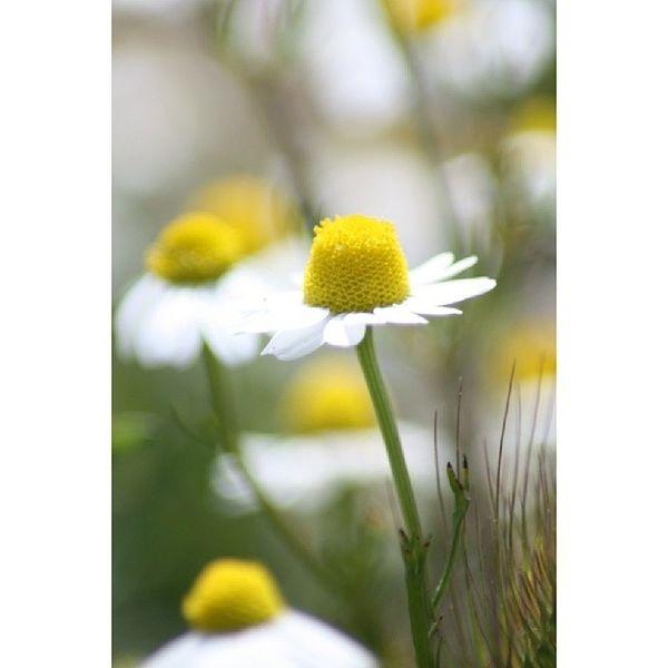 Canoneos450D Untreated Flora Natura macro color colour daisy spring