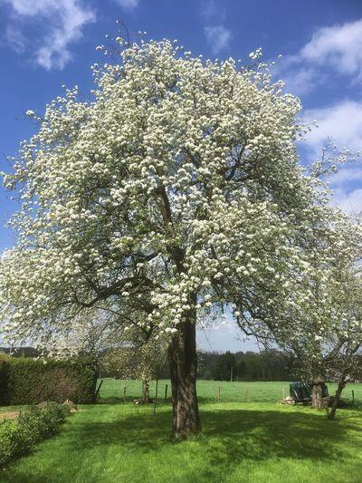 Poirier «en majesté» Plant Tree Sky Growth Cloud - Sky Nature Grass