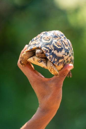 Close-up of a hand holding lizard