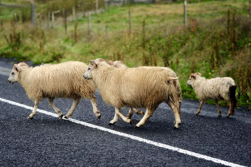 Sheep standing on a road