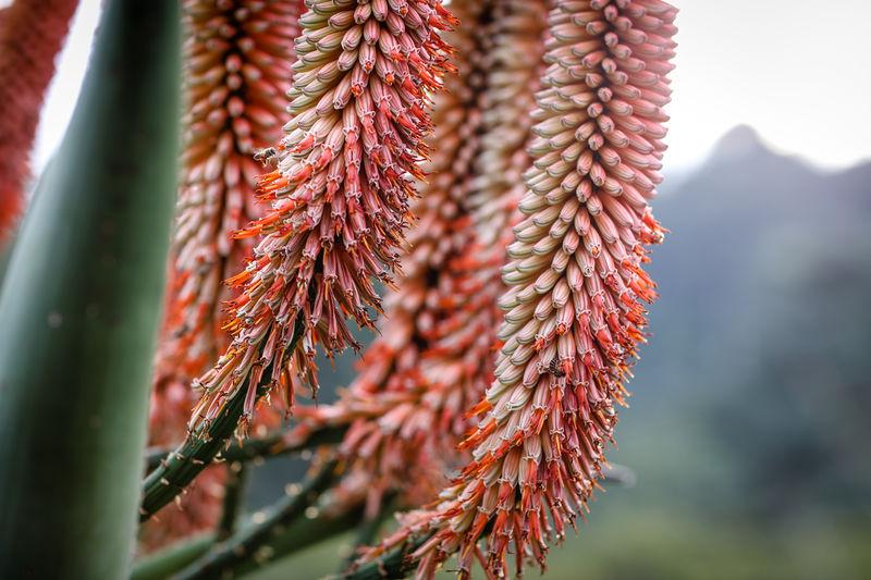 Close up of aloe flowers