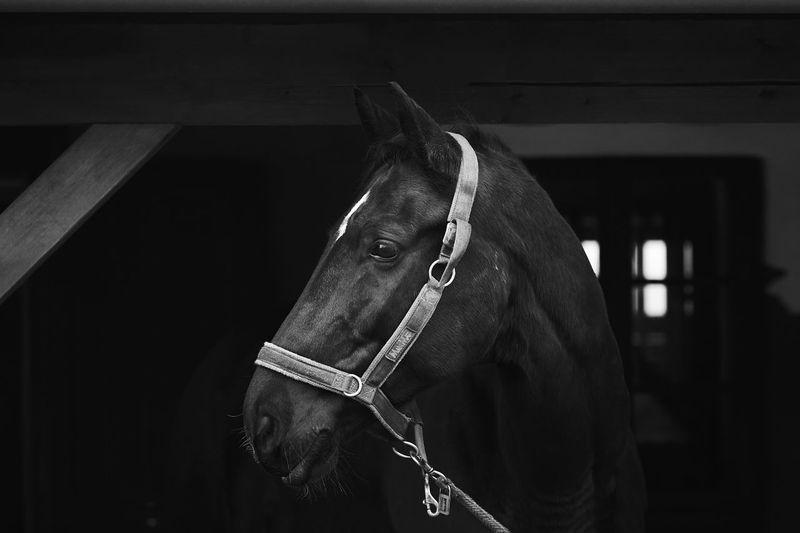 Black and white horse profile head