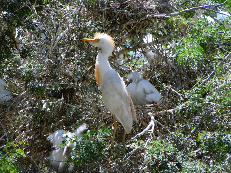 Cattle Egret Preening, Montagu, Western Cape ~ Animal Themes Animal Wildlife Animals In The Wild Bird Cattle Egret Day Egret Nature No People One Animal Outdoors Perching Preening South Africa Sunning Themselves Tree Western Cape