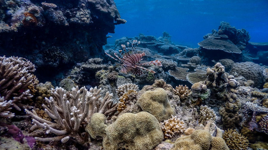 Red lionfish at apo reef coral garden