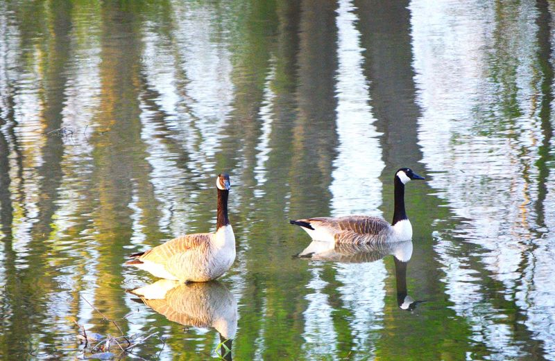 Water Animal Themes Lake Group Of Animals Animal Animal Wildlife Animals In The Wild Bird Vertebrate Reflection Two Animals No People Swimming Nature Waterfront Day Water Bird Beauty In Nature Goose Animal Family