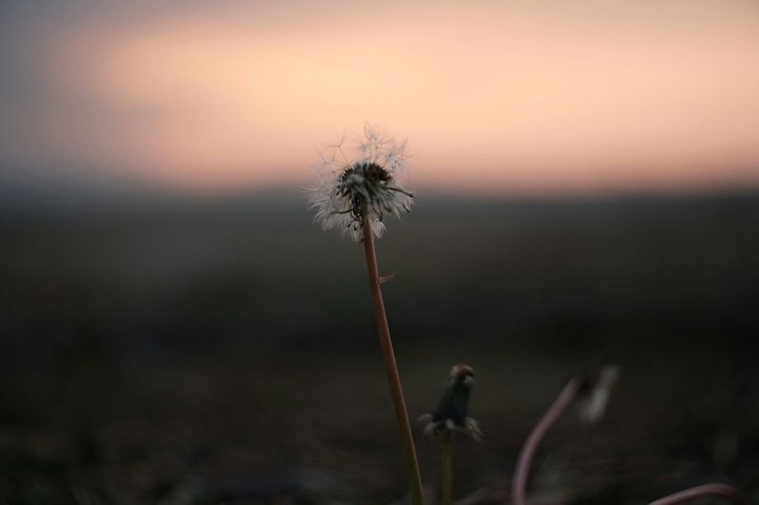 Her favorite colors Japan Nature_collection Dandelions Morning Sky Morning Glow Carl Zeiss Jena Pancolar 50mm F2 Vintage Lenses FUJIFILM X-T1 Your Favorite Colors