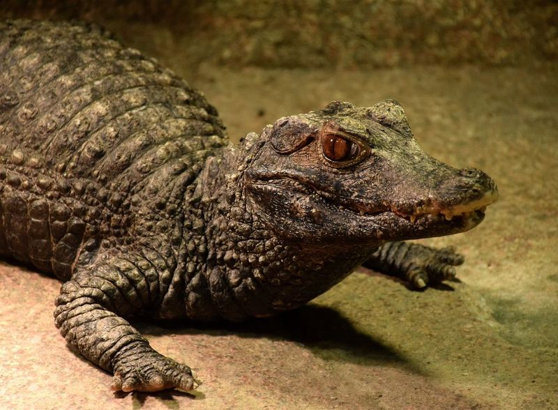 caïman Caiman Caimana Reptile Animals In The Wild Animal Wildlife One Animal Animal Themes No People Day Close-up Nature