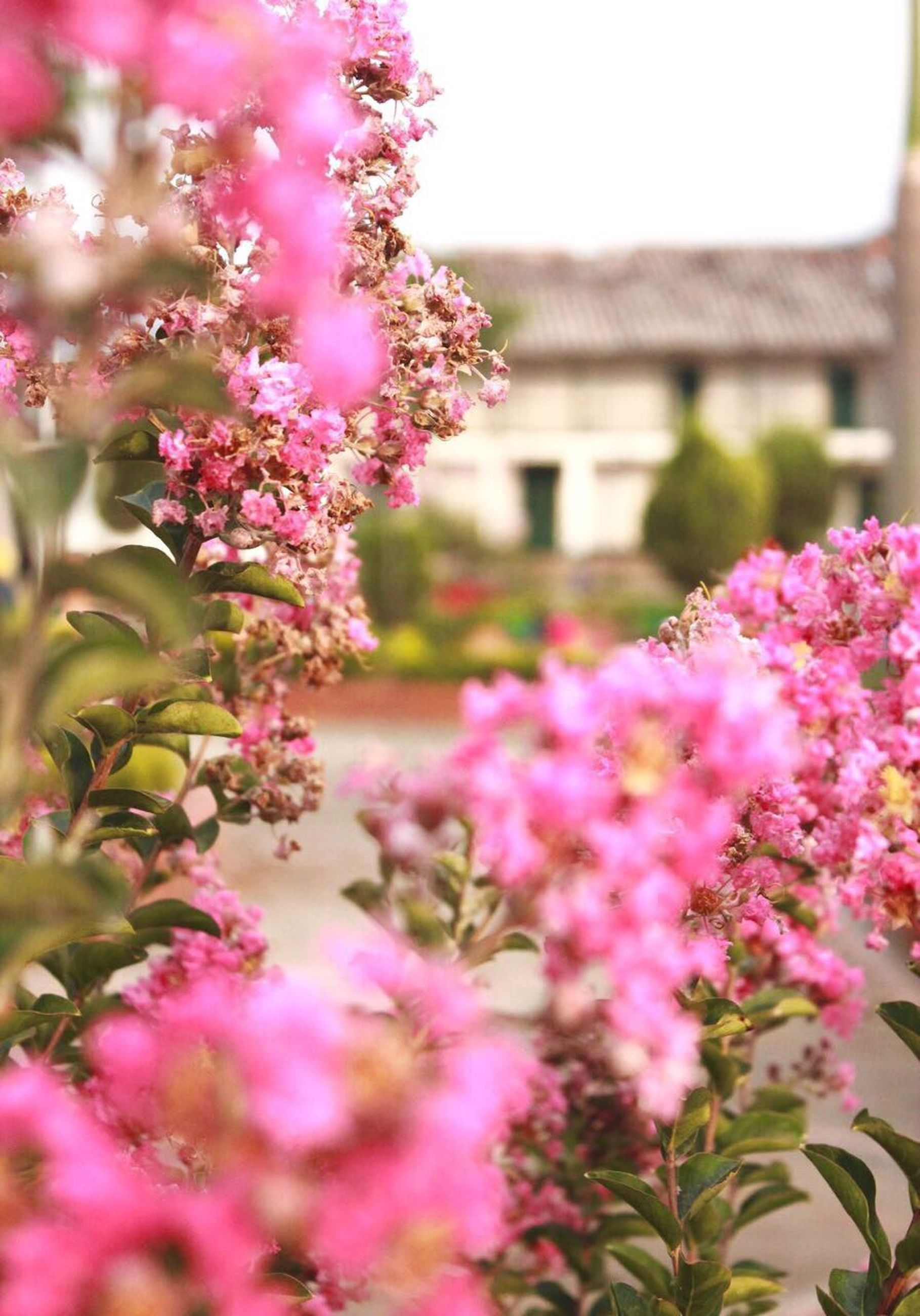 flower, nature, fragility, growth, plant, beauty in nature, pink color, freshness, no people, outdoors, building exterior, close-up, flower head, blooming, day, built structure, lilac