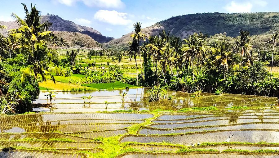 Risaie, Bali,