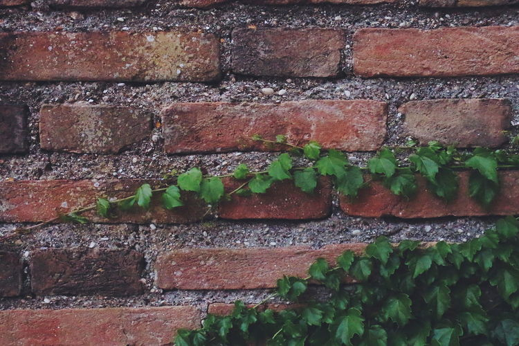 Crawling Full Frame Backgrounds Close-up Growth Leaf Plant Green Color The Week On EyeEm EyeEm Outdoors Ancona Italy Marche EyeEm Nature Lover Vines On Wall Vines Abstract Bricks Bricks In The Wall Background Texture