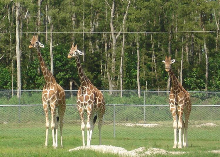 Animals Florida Funny Green Park Safari Three Giraffs Zoo Nature Outdoor Photography Giraffes Jungles