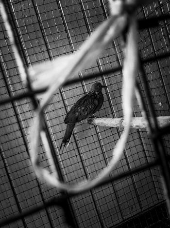 Black White Background Potrait_photography Portrait Potrait Nature Pinhole Photography Vscocam No People Bird Bird Photography Photooftheday Photography Photo EyeEm EyeEmNewHere Animal Themes Animal Animal Wildlife Fence One Animal Animals In The Wild No People Day Nature