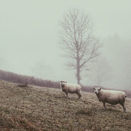 Bare Tree Domestic Animals Animal Themes Livestock Nature Mammal Tree Sheep No People Field Landscape Tranquility Beauty In Nature Winter Branch Outdoors Cold Temperature Sky Day Flock Of Sheep Beauty In Nature X100t Rural Scene Devon Foggy Landscape