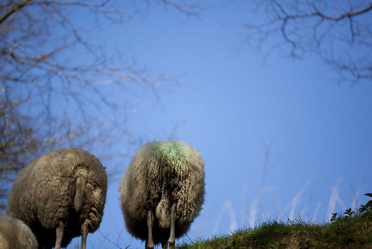 Low angle view of sheep on field against sky